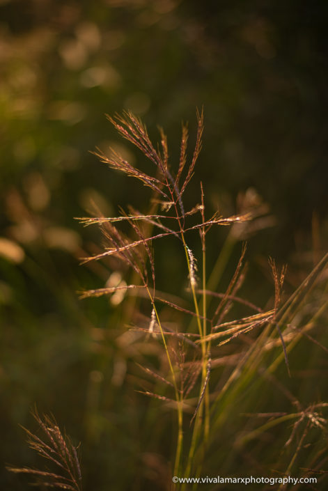 Pearland wild grass